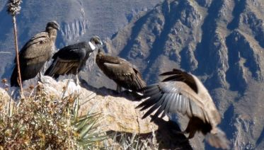 Colca Canyon Trekking 3D/2N & Transfer to Puno