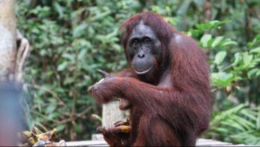 Dayak & Orangutan Explorer