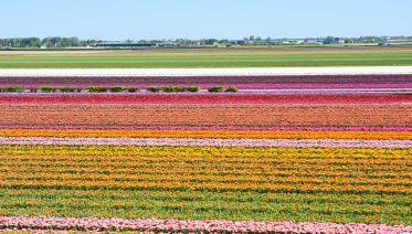 from Rotterdam: Keukenhof & Flowerfields half day Tour