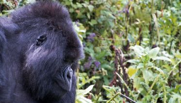 Game Parks and Gorillas Accommodated