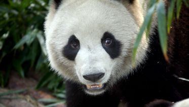 Giant Panda and Sichuan Cuisine Cooking Day Tour