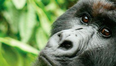 Gorillas & Chimps In Depth