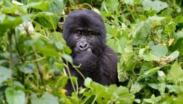 Gorillas & Masai Mara - Accommodated Reverse