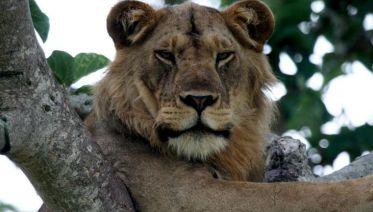 Gorillas and Tree Climbing Lions