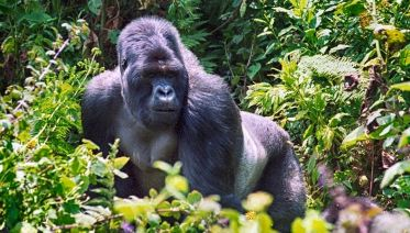 Gorillas, Masai Mara And Zanzibar