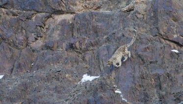In Search Of The Snow Leopard