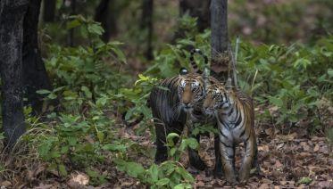 India Tiger Safari