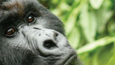 Johannesburg to Gorillas