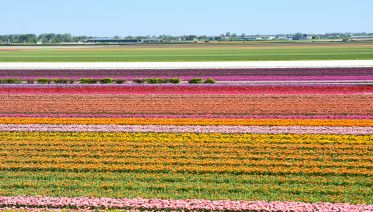 Keukenhof & Flowerfields Tour From Rotterdam & The Hague