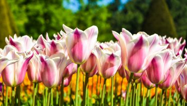 Keukenhof and Flowerfields Tour