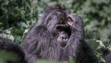Magic of the Mountain Gorilla 5 Days