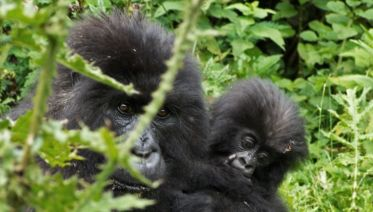 Magic Of The Mountain Gorilla
