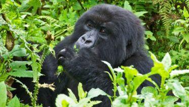Mountain Gorilla Expedition 5 Days