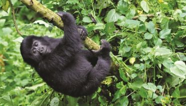 Mountain Gorilla Express Accommodated