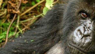 Mountain Gorillas of Rwanda Experience - Independent