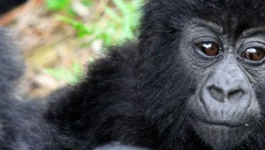 Mountain Gorillas Of Uganda Experience - Independent