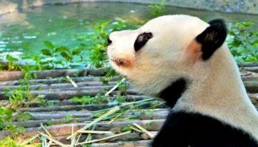 Panda Volunteer