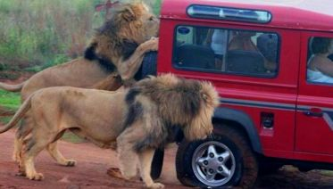 Safari and Phezulu Cultural Village Private Day Tour