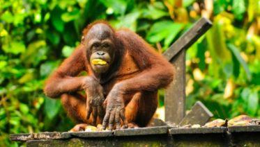 Sandakan Orangutan Experience 4D/3N