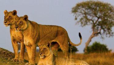 Simba Safari, Serena Lodges