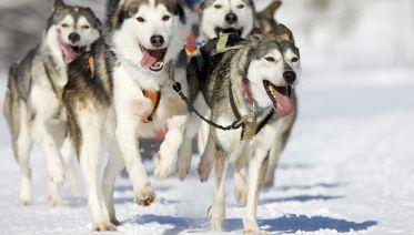 Snowy Trails Husky Safari In Lapland