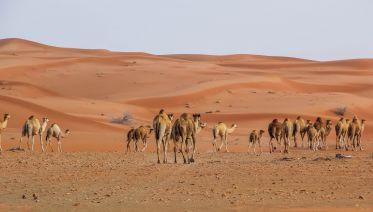 Sunrise Desert Safari With Falconry & Breakfast