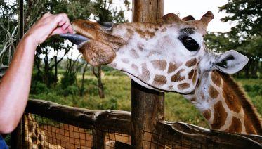 Tour Karen Blixen & Giraffe Center From Nairobi