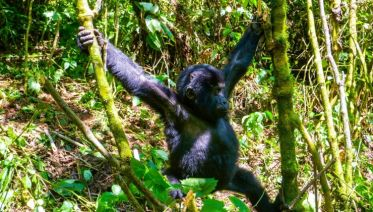 Troop To The Gorillas 9 Days
