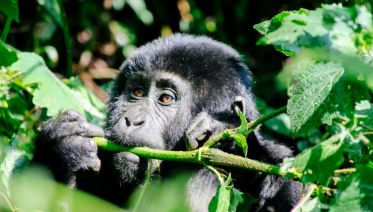 Troop To The Gorillas Accommodated