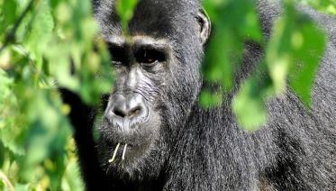 Troop to the Gorillas