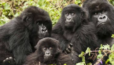 Uganda Gorilla Expedition & Safari - Limited Edition