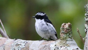 West Flores Birding Tour