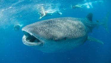 Whale Shark Adventure (from Cancun or Playa del Carmen)