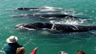 Whale Watching In Hermanus  &  Wine