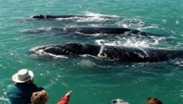 Whale Watching In Hermanus  &  Wine