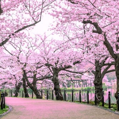2 Best Cherry Blossom Tours in 2020/2021 | Bookmundi