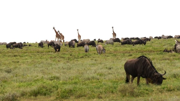 4 Days Safari Ngorongoro and Serengeti National Parks