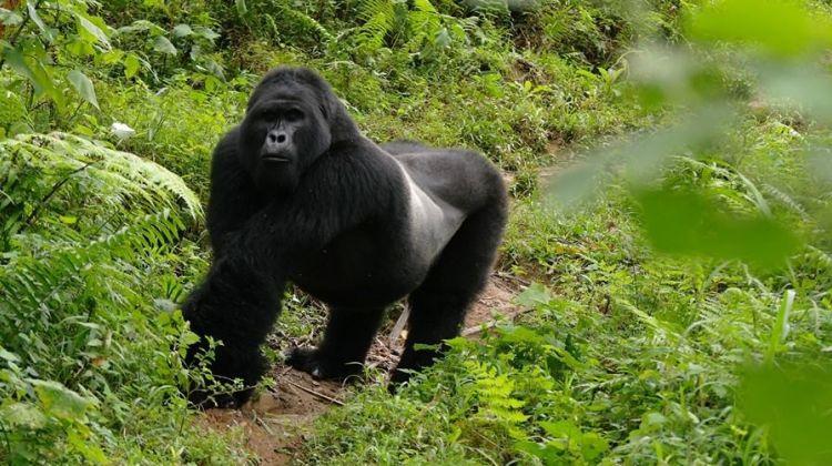 6-Day Gorilla Safari Tour