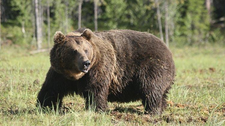 Brown Bear Encounter