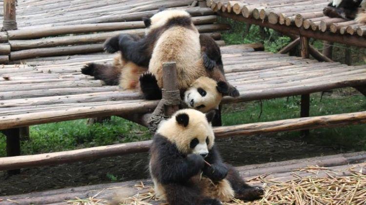 Chengdu & Pandas Experience 3D/2N