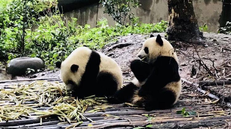 China Panda Small Group Tour: 11 Days
