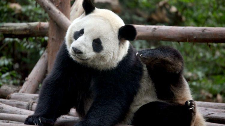 China Tour: Beijing, Xi'an and Chengdu Giant Pandas