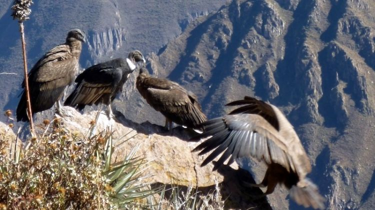 Colca Canyon Trekking 3D/2N & Transfer to Puno