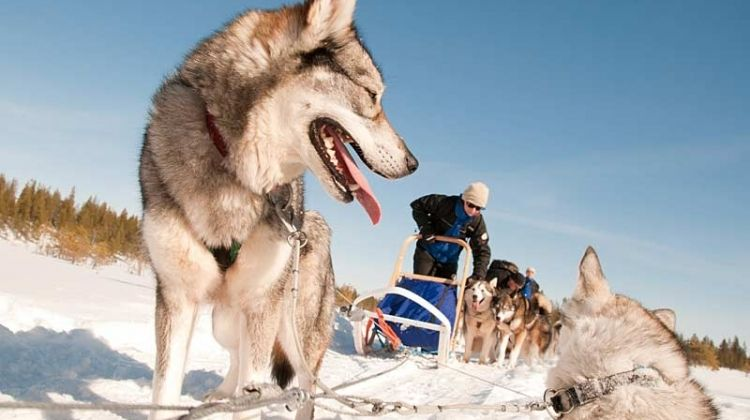 Dogsledding at Basecamp Oulanka