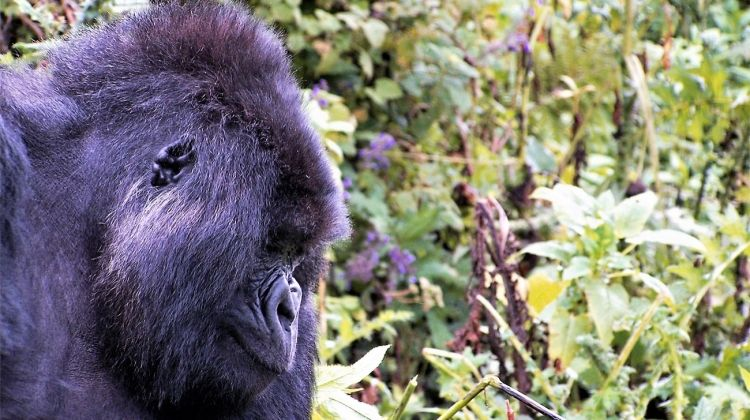Game Parks and Gorillas Accommodated 28 Days