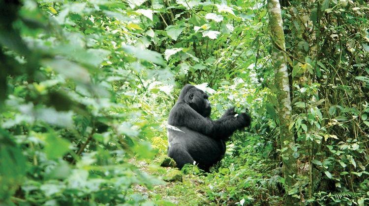 Game Parks & Gorillas