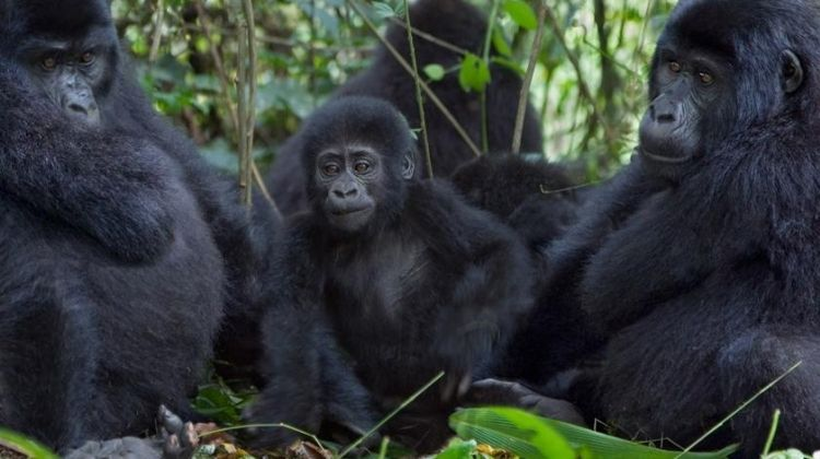 Gorilla and Chimpanzee Experience