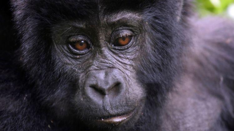 Gorillas & Masai Mara