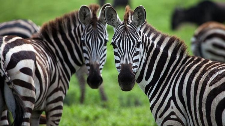 Gorillas & Safaris