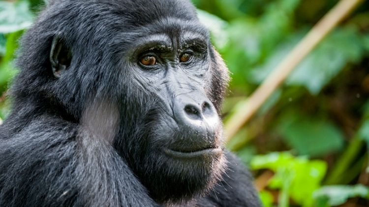 Gorillas and the Wilds of Rwanda & Tanzania